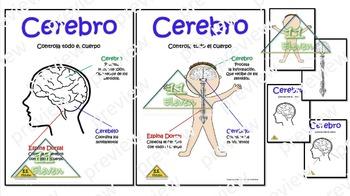 "Anchor Chart "" El cerebro"" (Spanish)"