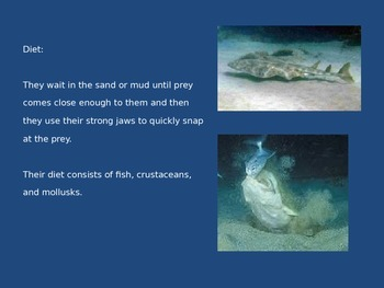Angel Shark - Power Point - Information Facts Pictures