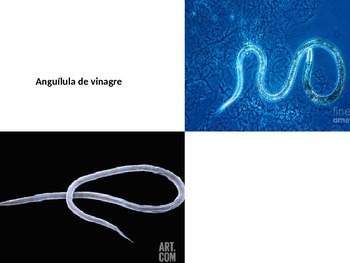Anguílula de vinagre/ Vinegar Eel Presentation (In Spanish)