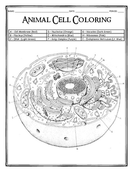 Animal Cell Coloring Worksheet | Teachers Pay Teachers