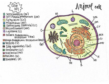 animal cell sketch notes eukaryotic   stop  uaa tpt