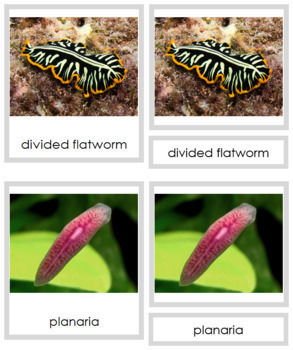Animal Kingdom: Phylum Platyhelminthes (color borders)