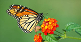 Animal Science- Butterflies and Moths