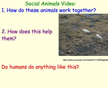 Animal Social Groups - Lesson Plan, Presentation, Videos, Teamwork Activity