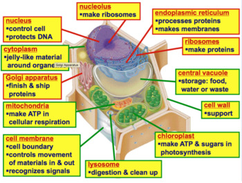 Cells - Animal Cell and Plant Cell Diagrams