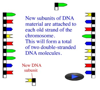 Animation - DNA Replication