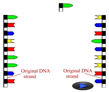 Animation - DNA Replication (Lecture Version)