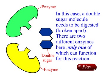 Animation - Enzyme Activity