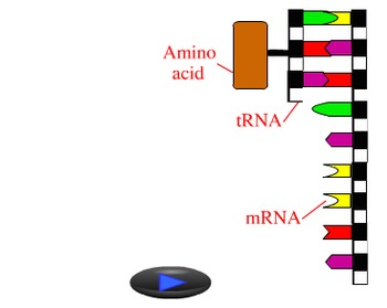 Animation - Protein Synthesis (Lecture Version)