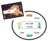Ant Life Cycle Stages Project
