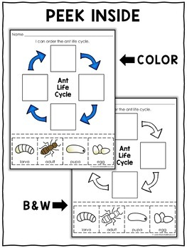 Vocabulary Activity - Ant Life Cycle