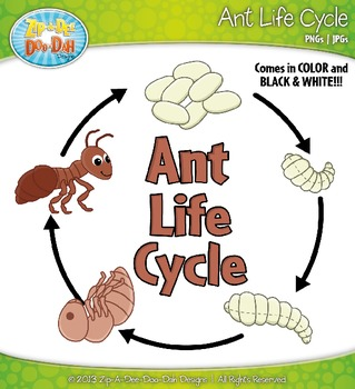 Ant Life Cycle Clip Art Set — Comes In Color and Black & White!