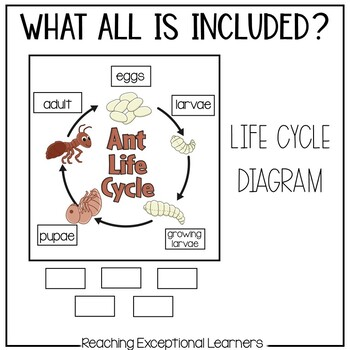 Ant Life Cycle File Folder Activity