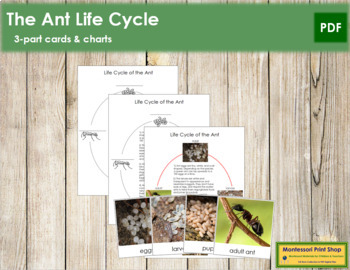 Ant Life Cycle Nomenclature Cards and Charts