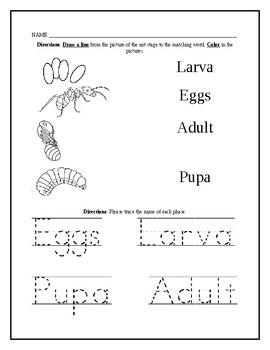Ant Life Cycle Worksheet