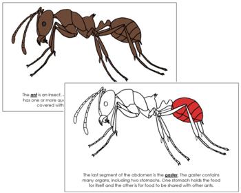 Ant Nomenclature Book (Red)