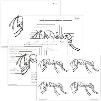 Ant Nomenclature - Elementary