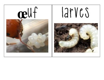 Ant exploration and Life cycle activities- French Immersion