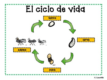 ant life cycle in spanish by hilda escamilla teachers pay teachers. Black Bedroom Furniture Sets. Home Design Ideas