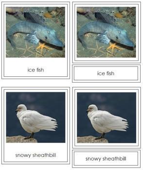 Antarctic Animals: 3-Part Cards (color borders)