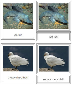Antarctic Animals: 3-Part Cards (color borders)