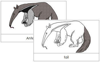 Anteater Nomenclature Cards