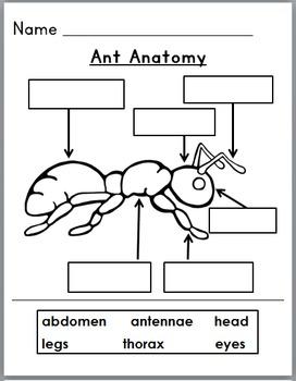 Ants Life Cycle