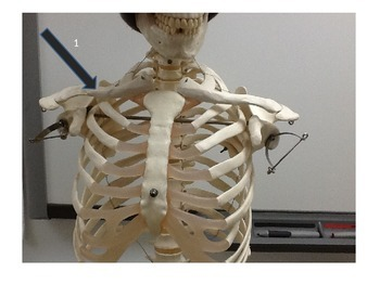 Appendicular Skeleton I.D. Test