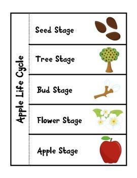 Apple Life Cycle
