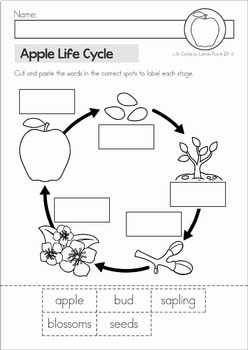 photo relating to Apple Life Cycle Printable identified as Apple Everyday living Cycle