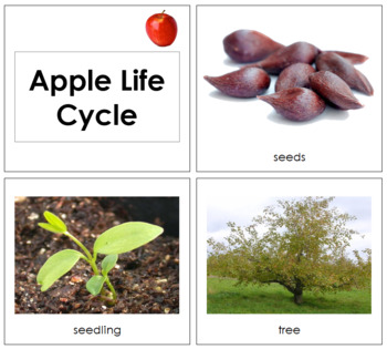 Apple Life Cycle Cards - Toddler