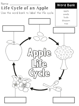 Apple Life Cycle Booklet & Activities