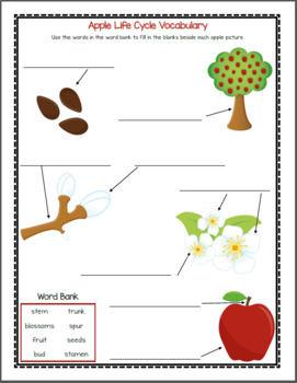 Apple Life Cycle Worksheets