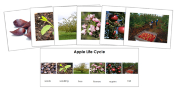 Apple Life Cycle Sequence Cards