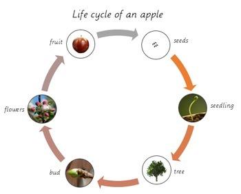 Apple Unit Study Bundle - Montessori Inspired