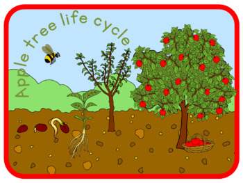 Apple tree life cycle poster