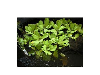 Aquatic Plants PPT