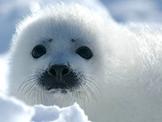 Arctic Animals - Seal