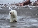 Arctic National Wildlife Refuge Documented Persuasion Pape