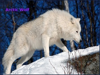 Arctic Wolf - Power Point - Information Facts History Pictures Endangered