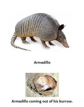 Armadillo Informational Text and Questions