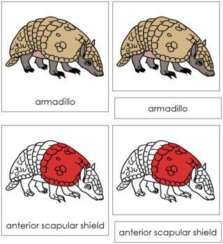 Armadillo Nomenclature Cards (Red)