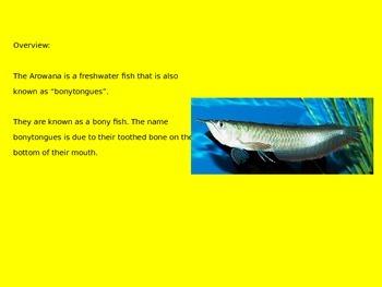 Arowana - Fish - Power Point Information Pictures