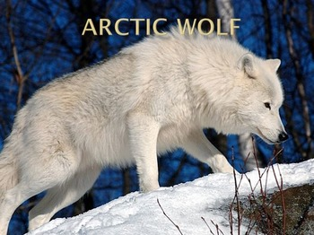 Artic Wolf Power Point