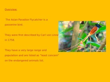 Asian Paradise Fly Catcher - Power Point - Facts Pictures