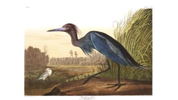 Audubon Blue Heron high res poster