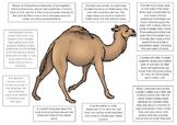 Australian Animal Adaptation Printables - Camel, Echidna a