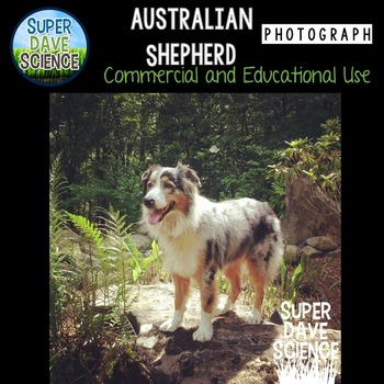 Australian Shepherd Dog Photograph