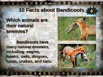 BANDICOOTS - visually engaging PPT w facts, video links, handouts & more