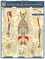 Muscular Origins and Insertions